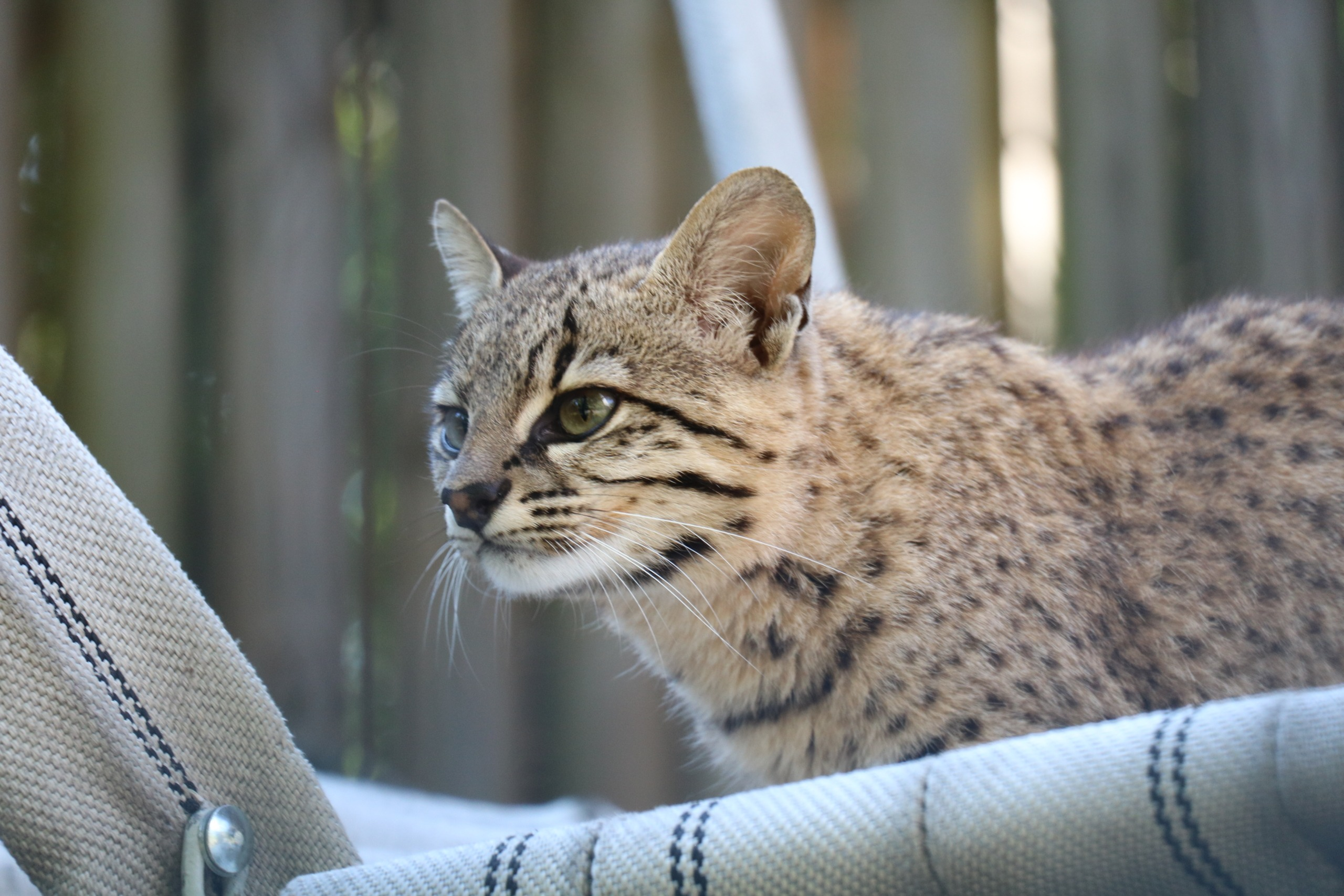 Koty Argentyńskie